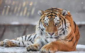 Обои дикая кошка, морда, Амурский тигр, хищник, взгляд, портрет
