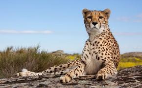 Обои feline, pose, Cheetah