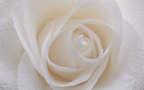 Картинка белый, капли, макро, роза