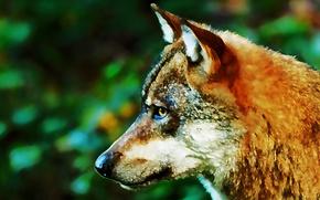 Картинка морда, фон, волк, хищник