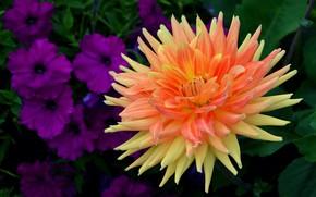 Обои оранжевая, георгина, петунии, зелень, лепестки, махровая, листья, цветок, яркая, фиолетовые, сад, макро, темный фон, цветы