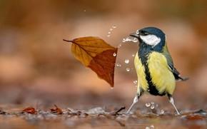 Картинка вода, капли, птица, листик, боке, Синица
