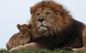 Обои лев, львенок, семья