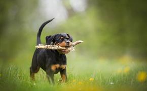 Обои щенок, ротвейлер, палка, боке, собака