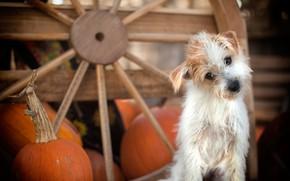 Обои собачонка, пёсик, тыквы, колесо