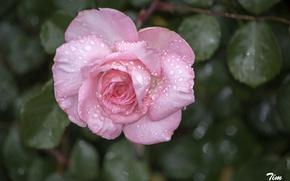 Картинка розовый, листья, роза