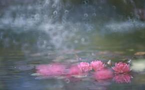Картинка вода, розовые, цветение, кувшинки