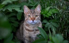 Картинка трава, кот, взгляд, листья, мордочка, котейка