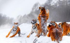Обои охота, тигры, тигр, прыжок, зима, молодые тигры, стойка, снег, игра