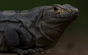 Картинка ящерица, игуана, рептилия