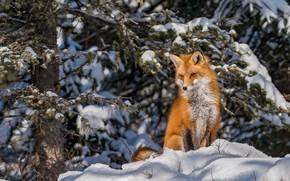 Картинка зима, рыжая, снег, лиса, лес