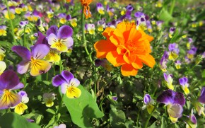 Картинка цветы, анютины глазки, бархатец, весна 2018, Meduzanol ©