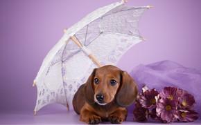 Картинка цветы, зонт, щенок, такса, сиреневый фон