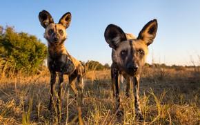 Картинка природа, звери, African Wild Dogs