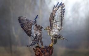 Обои соколы, фон, танец, птицы