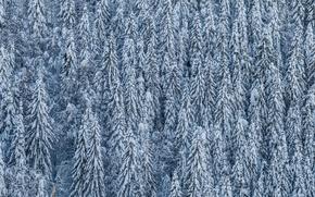 Картинка снег, деревья, хвойные