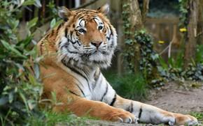 Картинка кошка, природа, тигр, отдых, полосатик