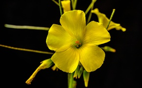 Картинка цветок, фон, растение, лепестки, Кислица козья