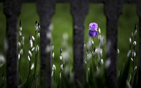Обои цветок, Iris, забор
