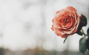 Обои роза, цветок, фон