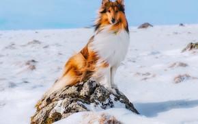 Картинка зима, снег, собака, колли