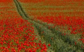 Картинка поле, цветы, Англия, маки, Кент, колея, England, Kent, Chartham