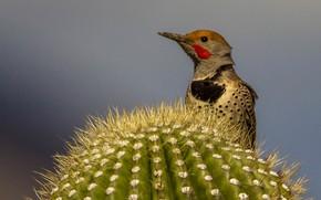 Картинка птица, клюв, кактус, шилоклювый дятел