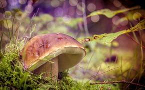 Картинка природа, гриб, Лес, травка