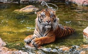 Обои дикая кошка, водоём, купание, зоопарк, хищник, тигр