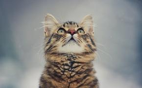 Обои фон, глаза, котенок, усы