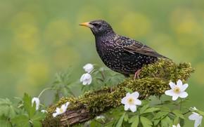 Обои птица, фон, Скворец, цветы