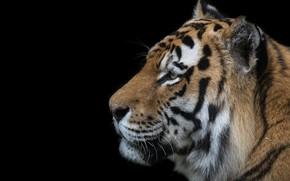 Картинка тигр, профиль, полосатый