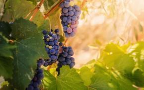 Картинка листья, виноград, гроздья