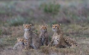 Картинка семейный портрет, гепарды, семейка, детёныши, Танзания
