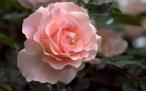 Картинка листья, розовая, роза