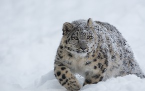 Обои Cold, Snow Leopard, Forest, Winter, Snow