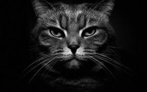 Картинка кошка, усы, взгляд, морда