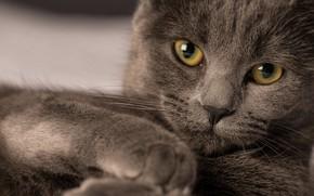 Картинка кот, взгляд, коричневый