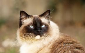 Картинка кошка, кот, взгляд, портрет, Бирманская кошка