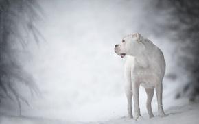 Картинка зима, белый, собака, боке, боксёр