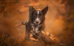 Картинка осень, взгляд, листья, дерево, собака, боке, Бордер-колли