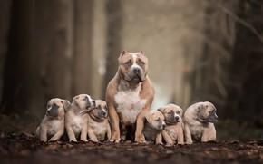 Картинка собаки, щенки, семейный портрет, Питбультерьер