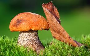 Картинка зелень, осень, трава, солнце, макро, природа, гриб, листик, боке