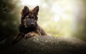 Обои собака, боке, Немецкая овчарка, камень
