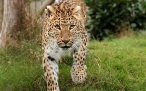 Картинка леопард, взгляд, кошка, дикая, природа