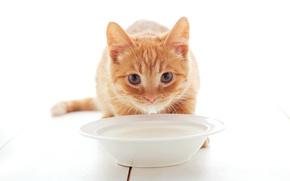 Картинка Взгляд, Кошка, Кот, Котята, Рыжий, Молоко, Тарелка