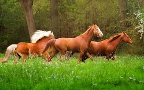 Картинка трава, природа, животное, лошади, бег