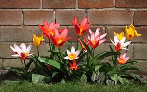 Картинка стена, лепестки, сад, двор, тюльпаны