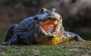 Картинка crocodile, teeth, huge mouth