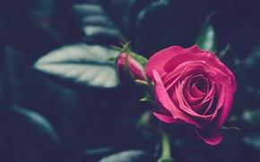 Обои розовый, роза, бутон
